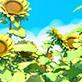[2D背景]ひまわり畑